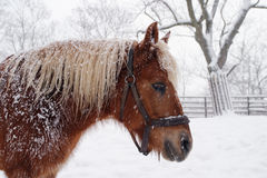 Paard Haflinger in de winter Royalty-vrije Stock Foto