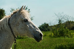 Paard half gezicht Royalty-vrije Stock Afbeelding