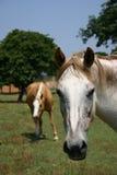 Paard Headshot Stock Afbeelding