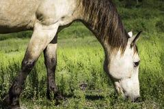 Paard het Bevindende Kauwen op Gras Stock Foto