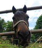 Paard het eten Royalty-vrije Stock Afbeeldingen