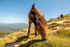 Paard het eten Royalty-vrije Stock Foto's