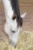 Paard het eten Stock Foto