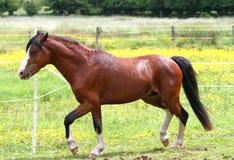 Paard het lopen Royalty-vrije Stock Afbeeldingen