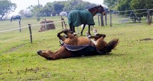Paard het rowelling Stock Foto