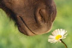 Paard het snuiven bloem royalty-vrije stock afbeelding