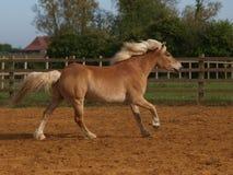 Paard het Spelen Royalty-vrije Stock Afbeeldingen