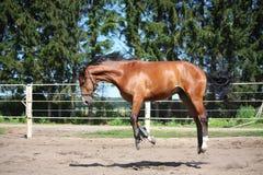 Paard het spelen in de paddock Stock Afbeeldingen