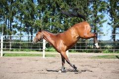 Paard het spelen in de paddock Stock Fotografie