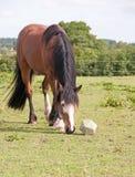 Paard het spelen met een stuk speelgoed Stock Foto
