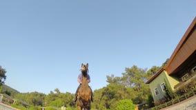 Paard het springen hindernis bij zonsondergang, stock videobeelden