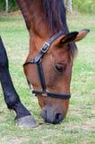 Paard het weiden Royalty-vrije Stock Afbeelding