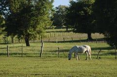 Paard het weiden Stock Foto's
