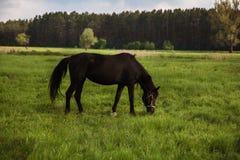 Paard het weiden in het weiland Royalty-vrije Stock Foto