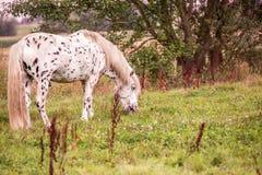 Paard het weiden op weide Royalty-vrije Stock Afbeeldingen