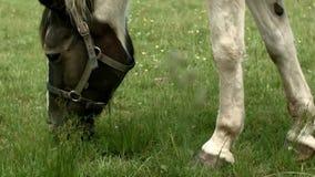 Paard het weiden in Polen stock video