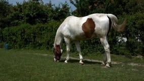 Paard het weiden in Polen stock videobeelden