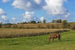 Paard het weiden in weiland Stock Fotografie