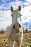 Paard in het weiland Stock Afbeelding