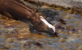 Paard het zwemmen Stock Foto