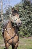 Paard II van de baai Royalty-vrije Stock Afbeeldingen