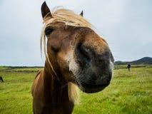 Paard ijsland Stock Foto