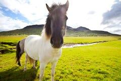 Paard in IJsland Stock Afbeeldingen