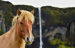 Paard in IJsland Stock Afbeelding