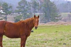 Paard in landweiland Royalty-vrije Stock Afbeelding
