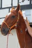 Paard met cannula in aderinfusie Stock Afbeeldingen
