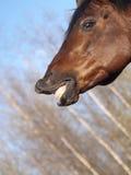 Paard met een betekenis van humeur Royalty-vrije Stock Afbeeldingen