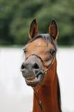 Paard met een betekenis van humeur Royalty-vrije Stock Foto