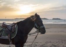 Paard met een uitrusting en een zadel die zich op een strand bevinden - kitesurfers en een gouden zonsondergang in de achtergrond Stock Afbeelding