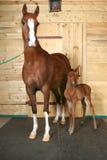 Paard met een veulen Stock Foto