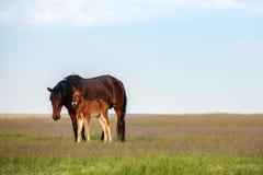 Paard met een veulen in de weide Zonnige avond stock fotografie