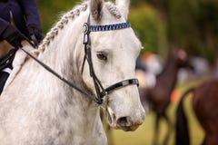 Paard met Gevlechte Mane On Show In The-Ring royalty-vrije stock foto's