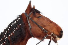 Paard met gevlechte manen Stock Foto's