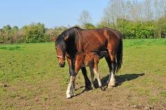 Paard met jong veulen royalty-vrije stock afbeeldingen