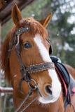 Paard met teugel Stock Afbeelding