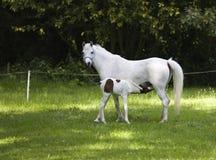 Paard met veulen stock foto's