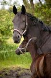 Paard met veulen Stock Foto