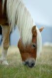 Paard met witte manen Stock Foto's