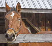 Paard in New Hampshire Royalty-vrije Stock Afbeelding