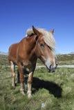 Paard in Noorwegen Stock Foto's