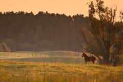 Paard in ochtendzonsopgang Stock Foto