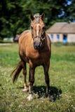 Paard op aard Paardlandbouwbedrijf, schone het paardstallen van Nice Royalty-vrije Stock Fotografie