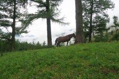 Paard op de achtergrond van nevelige bergen en bosmening De Bergen van Altai, Rusland royalty-vrije stock foto's