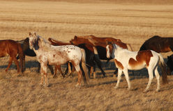 Paard op de prairie Stock Fotografie