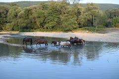 Paard op de rivier Stock Afbeelding