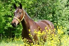 Paard op de weide Stock Fotografie